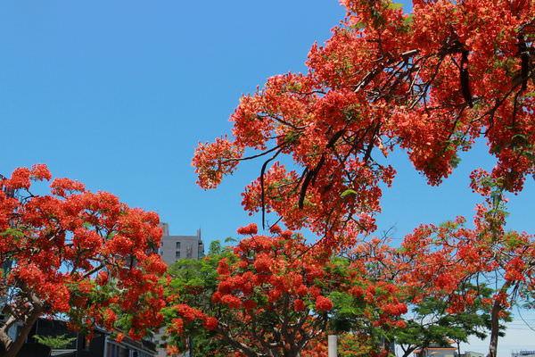 台南賞花景點:璀璨鳳凰花,恰似浴火鳳凰