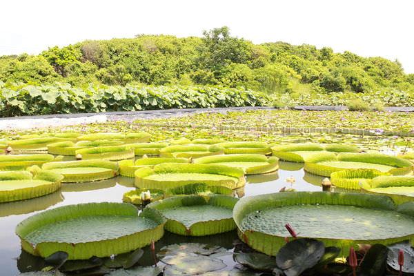 健康吃蔬果︱蓮子選購︱蓮子食譜︱蓮花、蓮子、蓮蓬知識,更認識蓮,就到台南白河賞蓮吧